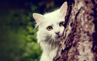 white-shy-cat-wallpaper-448x280