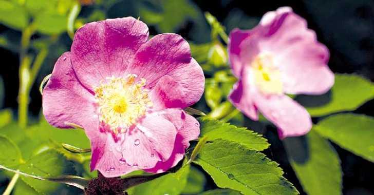 цвет шиповника фото