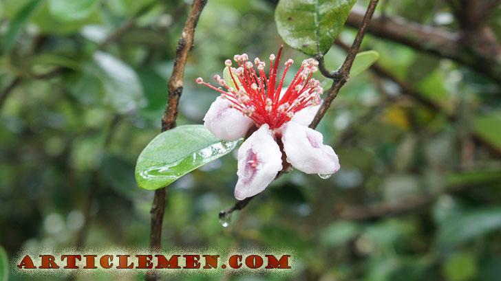 Цветок фейхоа