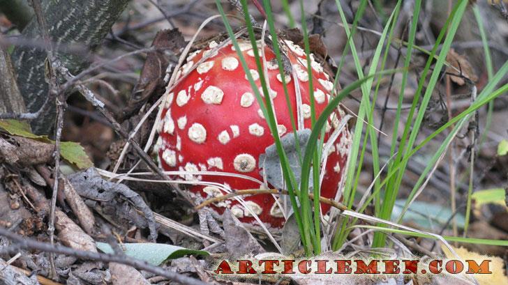 Красивый гриб мухомор