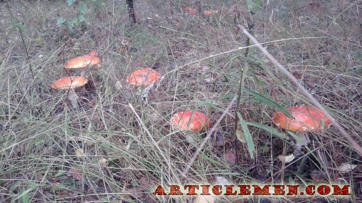 мухоморы в лесу
