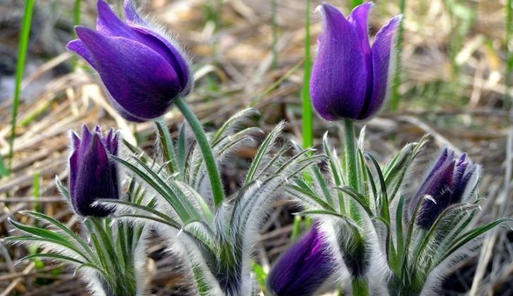 son-trava-cvetok-rastenie