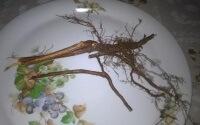 Полезные свойства корней малины