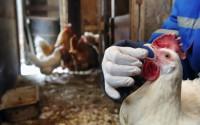 Птичий грипп у кур: симптомы, стадии, лечение, профилактика